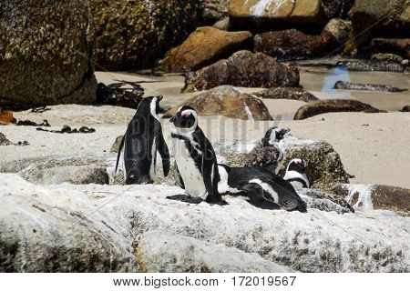 African penguins at Boulders Beach South Africa