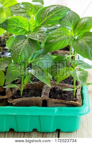 Young Fresh Seedling Stands In A Container On A Wooden Table. Pepper Plantation. The Cultivation Of