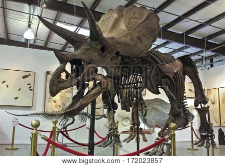 TUCSON, ARIZONA, FEBRUARY 12. GeoDecor Fossils & Minerals at the Mineral and Fossil Co-Op on February 12, 2017, in Tucson, Arizona. A Triceratops Skeleton at GeoDecor Fossils & Minerals in the Mineral and Fossil Co-Op in Tucson, Arizona.