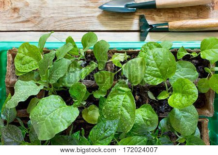 Young Fresh Seedling Stands In Container And Garden Tools On A Wooden Table. Growing Seedlings In Th