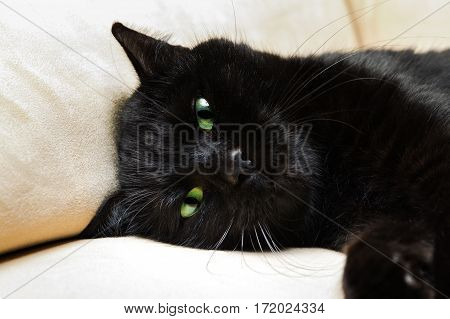 Portrait of a common, european black cat with green eyes on sofa background. Horror atmospheres and halloween concept. Look panther and witch eyes. Bad luck and superstition.