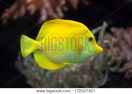 Yellow tang (Zebrasoma flavescens). Marine fish.