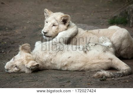 Two newborn white lion cubs. The whitelion is a colour mutation of the Transvaal lion (Panthera leo krugeri), also known as the or Kalahari lion.