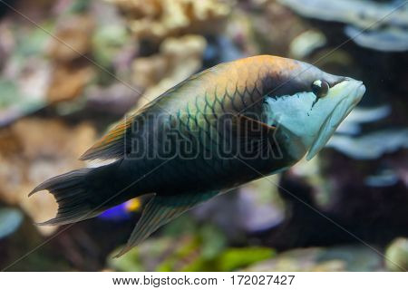 Slingjaw wrasse (Epibulus insidiator). Marine fish.
