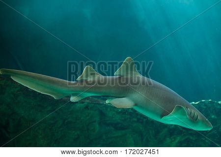 Nurse shark (Ginglymostoma cirratum). Marine fish.