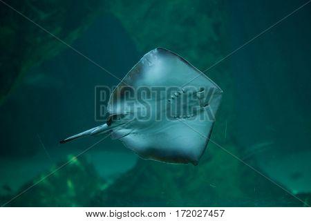 Southern stingray (Dasyatis americana). Marine fish.