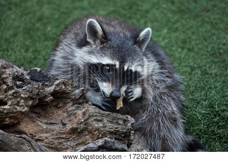Raccoon (Procyon lotor), also known as the North American raccoon.