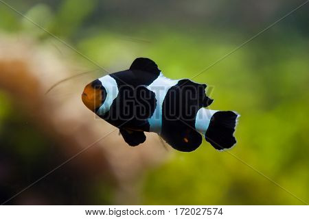 Saddleback clownfish (Amphiprion polymnus). Marine fish.