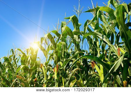 Bright sunrise on a cornfield in the summer.