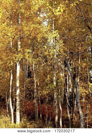 An aspen grove with brilliant golden leaves on a fall day in Central Oregon.