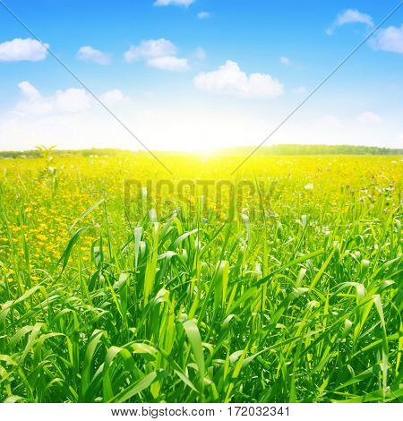 Field of green grass, blue sky and sun.