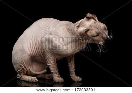 Sphynx Cat Sitting and shake head on Isolated Black Background, side view