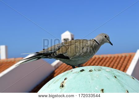 Eurasian Collared dove Latin name Streptopelia decaocto