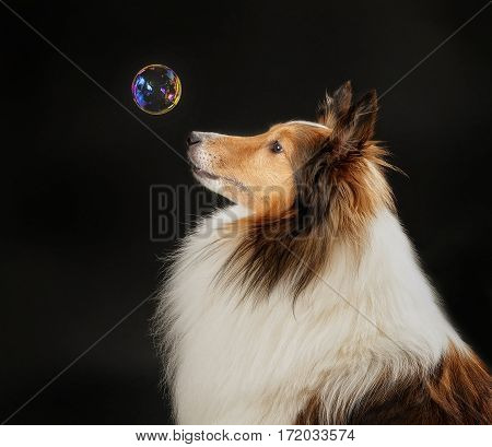Shetland Sheepdog looking at a bubble for the first time.