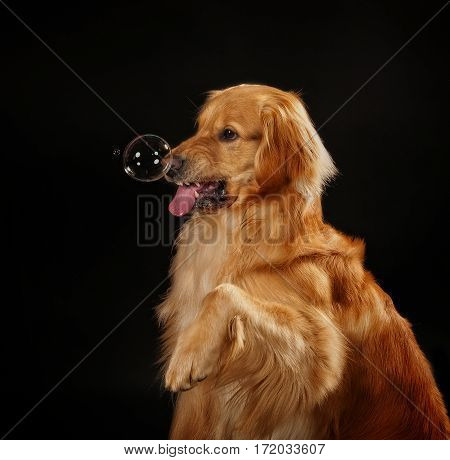 Golden Retriever playing with bubbles in a studio.