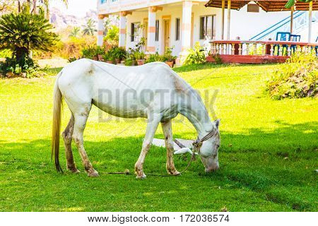White horse in Hampi village, Karnataka state, India