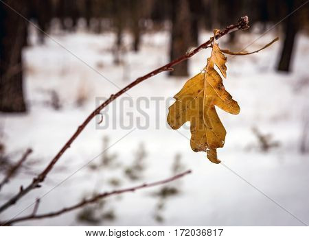Abstract dry oak leaf on twig in winter time