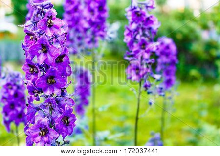 Bright Blue Delphiniums Plant Popular Ornamental In Cottage Gardens