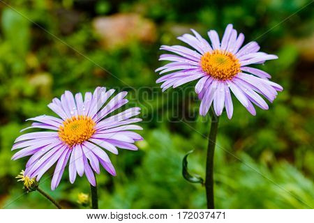 Bluish Aster Tongolensis , Family Compositae. Two Flowers. Purple