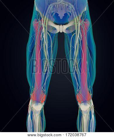 Femur bone. Human anatomy xray image. 3D illustration