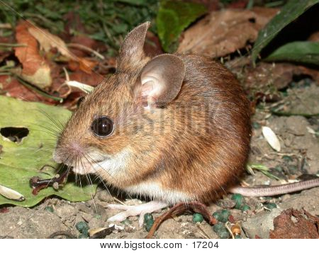 Wood Mouse 01