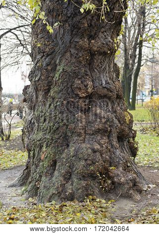 The bark on the old tree has a peculiar pattern.