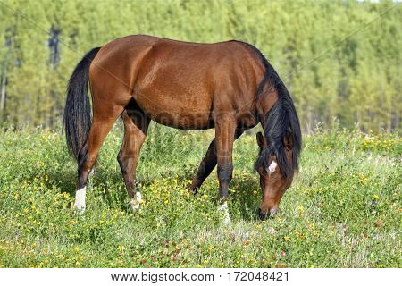 Bay Arab Filly grassing in meadow of flowers