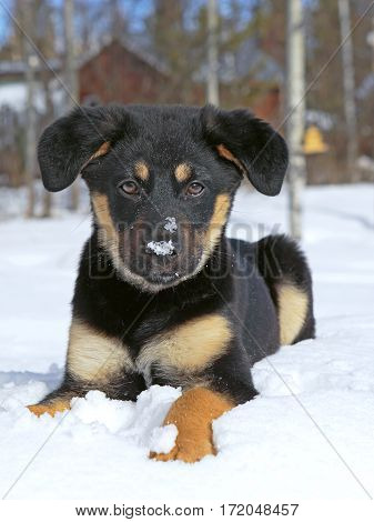 Portrait of cute German Shepherd cross puppy playing in the fresh snow.