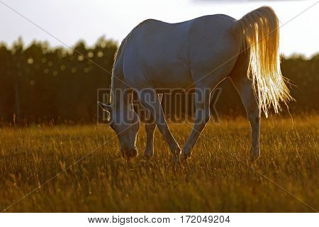 White Horse grazing in meadow in late afternoon sunlight.