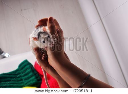 Little mouse sitting in a host of human hands