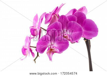 Orchid  Pink  Flower