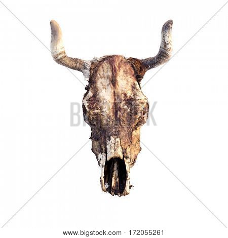 cow skull isolated on white