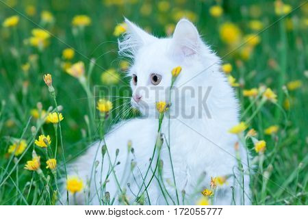 beautiful fluffy white cat in the green grass