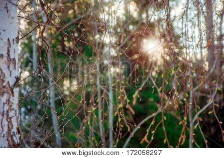 birch branches with kidneys in sunlight beams at sunset in the early spring. blurred spring background