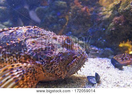 Fish scorpion fish underwater close up view