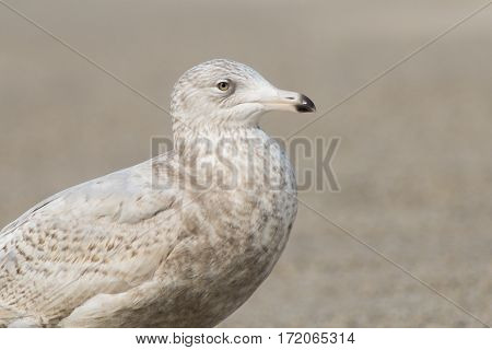 Glaucous Gull (Larus hyperboreus) standing on a Pier in a Harbour portrait