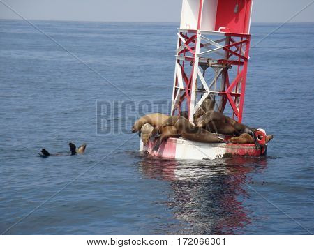 sea lions resting on an ocean buoy