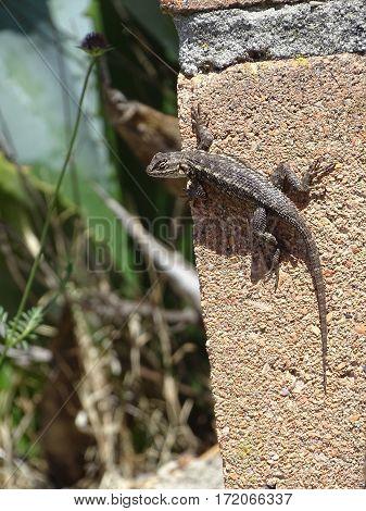 lizard sunning itself on a brick wall