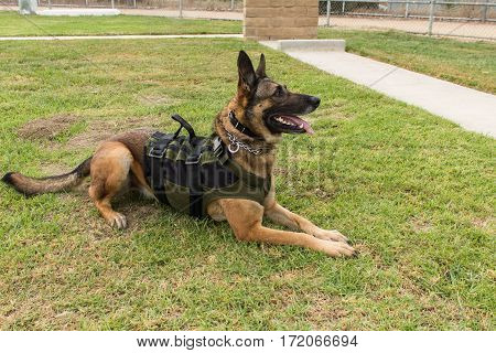 Police Dog wearing vest and training collar sitting in grass