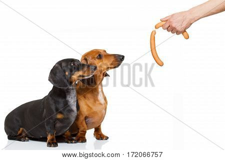 Hungry Couple Of Dachshund With Treat