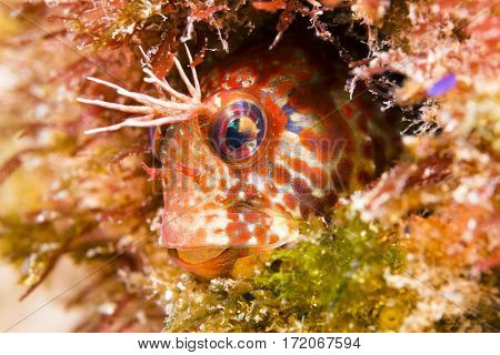 A bright orange fringehead blenny sits within a small hole in a California reef, looking for small crustaceans to eat.