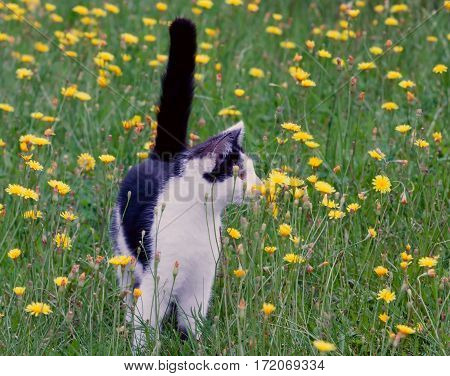 young rustic cat on lawn with dandelions.toned