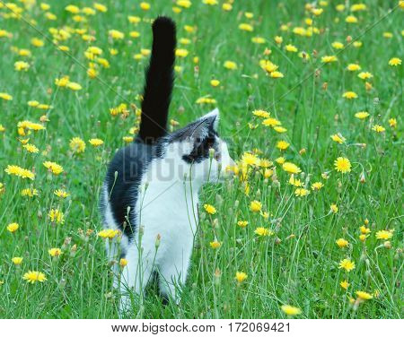 young rustic cat on lawn with dandelions.