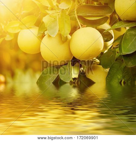 Ripe pomelo fruits hang on the trees in the citrus garden. Pomelo is the traditional new year food in China, it gives luck. Agricultural food background with water reflection