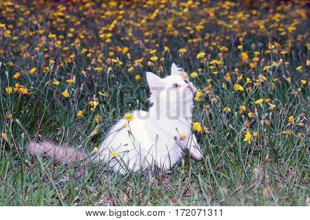 cute white fluffy cat playing on the meadow with flowers.toned