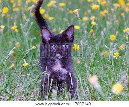 clumsy little kitten on the grass with dandelions.toned