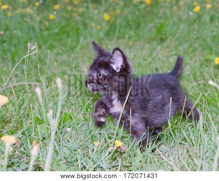 clumsy little kitten on the green grass.toned