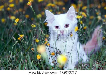 toned portrait of a cute white fluffy cat on the meadow with dandelions.
