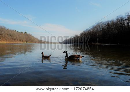 Goose and Duck swimming at Lake Atalanta in Rogers, Arkansas