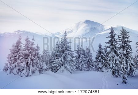 Mysterious winter landscape majestic mountains in winter. Magical winter snow covered tree. Dramatic wintry scene. Carpathian. Ukraine. Europe